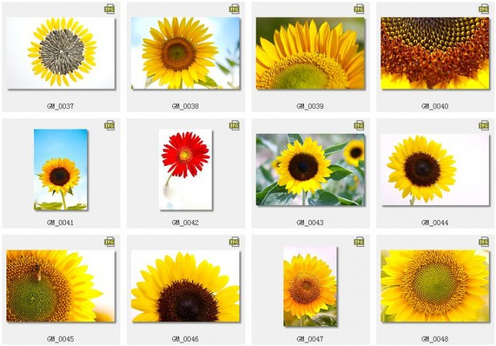 经典ps素材包:植物篇-漂亮的向日葵图片素材打包下载